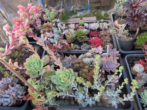 多肉植物の紅葉、エケベリアの花、ピーチプリデ、プルビナータフロスティー2018.11.30