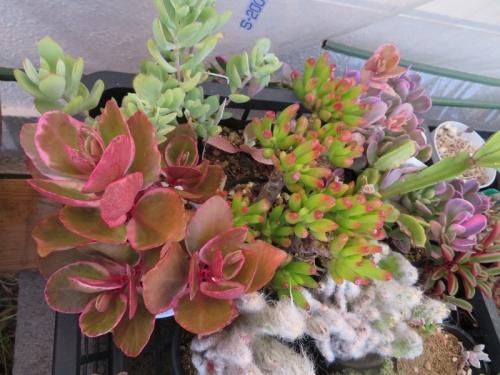 寒さにやや弱い多肉植物も紅葉、カランコエ、コチレドン、セネシオ、金のなる木、ペペロミア,、リプサリスなど2018.11.30