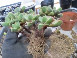 ファウカリア(Faucaria)下葉が萎びて黒くなっている古株の植え替え2018.12.02