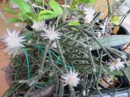 リプサリス・ピロカルパ霜の朝(Rhipsalis pilocarpa)、室内で開花2018.12.11