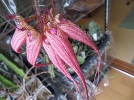 シルホペタラム・エリザベス・アン 'バックルベリーBulbophyllum 'Elizabeth Ann Buckleberry' FCC / AOS '室内で開花2018.12.11、