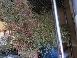 ハチオラ・猿恋葦(Hatiora salicornioides)、室内に取り込むと蕾がもう上がっています2018.12.11