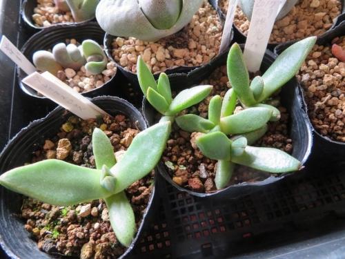 プレイオスピロス・陽光(Pleiospilos compactus ssp. canus)(2017.08.27実生)1年4カ月~2018.12.13