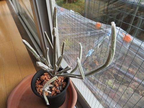 セイリギア・フンベルティー(Seyrigia humbertii)、マダガスカル原産、寒さに弱い2018.12.17