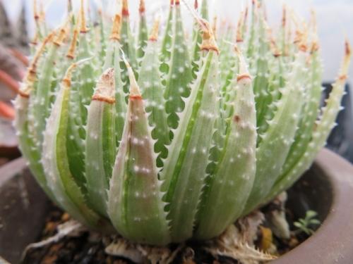アロエ・綾錦の光(Aloe aristata f. variegata)2018.12.18