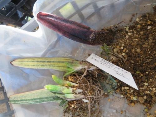 ガステリア・春鶯囀錦(Gasteria bateshiana f.variegata)の葉挿し木苗、1本痛んでいました。2019.01.03
