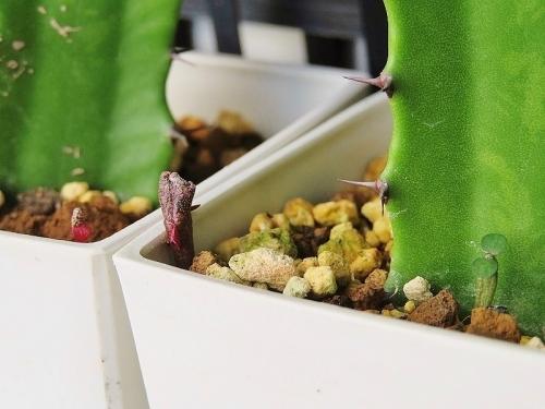 ユーフォルビア・プラティクラダ(Euphorbia platyclada)南西マダガスカル原産、開花中2019.01.07