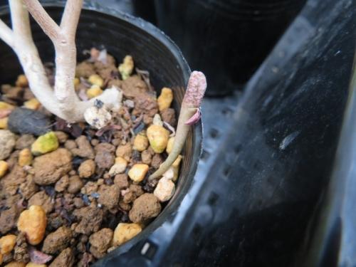 ユーフォルビア・プラティクラダ(Euphorbia platyclada)こぼれ種発芽2019.01.12