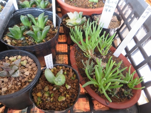フィロボルス・Sp(Phyllobolus sp.)室内窓際で挿し木苗が育っています。2019.01.15