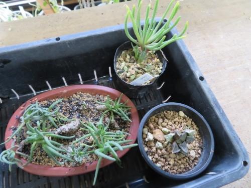 フィロボルス・Sp(Phyllobolus sp.)室内窓際で挿し木苗、植え替え2019.01.18
