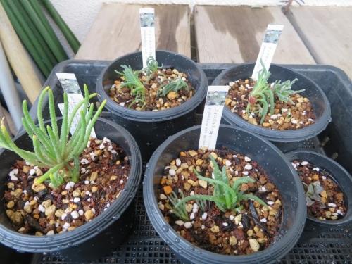 フィロボルス・Sp(Phyllobolus sp.)植え替え2019.01.18