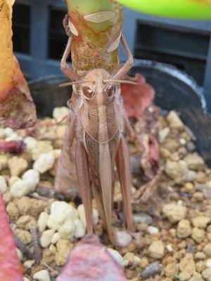 ツチイナゴ(Patanga japonica)~多肉植物温室にてエケベリアにつかまって冬越し中♪2019.0120