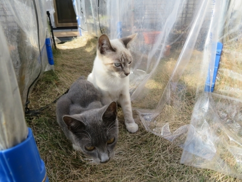 近所の野良ネコちゃん兄弟、たぶん2018年5月生まれ♪2019.01.22