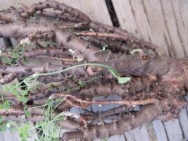 オキザリス・ギガンティア(Oxalis gigantea)南米:チリ 木質化する最大2019.01.17