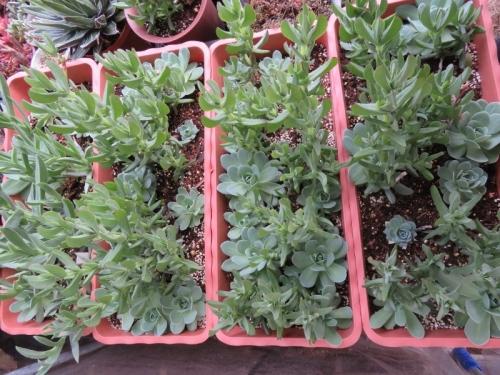 オロスタキス・大型岩レンゲ実生苗を2018.10.25植え付けておくと大きく育ちました♪2019.01.25