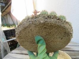 エキノプシスの子苗を赤玉土に挿し木してありました。根が回っていい感じ~2019.01.29