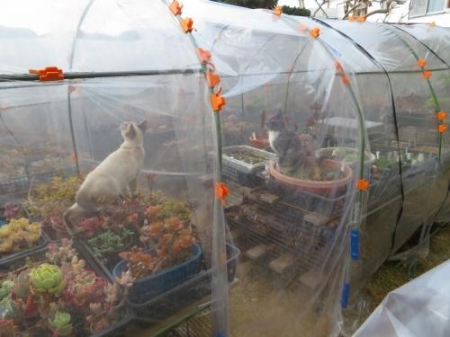 近所の野良子猫たちが、簡易ビニールハウスの中でアブの様な羽虫を追いかけて食べようとしています♪2019.01.30