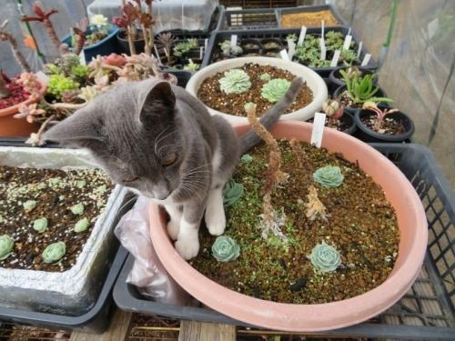 近所の野良子猫たちが、多肉簡易ビニールハウスの中でやりたい放題\(-o-)/大型岩レンゲの実生鉢に座っています(ToT)2019.01.30
