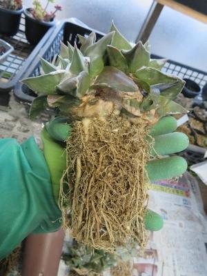 アリオカルプス・牡丹類の植え替え(キリン団扇接ぎ苗)抜いてみますとかなり根が張っています。2019.01.30