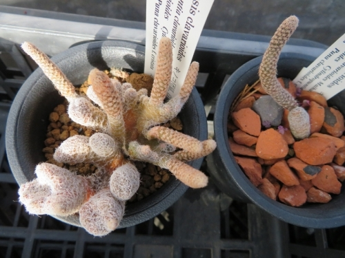 プナ・白鶏冠・キノコ団扇(Puna clavarioides f.cristata)接ぎ木から下した穂苗、どうにか成長しています。2019.02.03