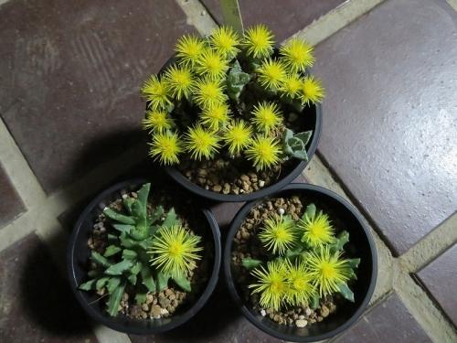 ストマチュウム・浮舟(Stomatium peersii)南アフリカ原産、夜咲芳香花2019.02.04 18:23