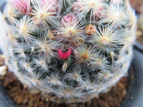 マミラリア・明星(Mammillaria Schiedeana)~種鞘ができています♪2019.02.09