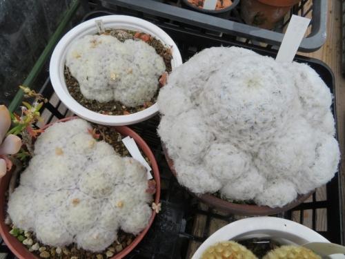 マミラリア・白星(左より)白花開花中~2鉢、仏頭白星(右やや大株)淡いピンク花2019.02.09