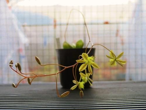 ブルビネ・メセンブリアンテモイデス(Bulbine mesembryanthemoides)南アフリカ原産、室内窓際で開花中♪2019.02.11