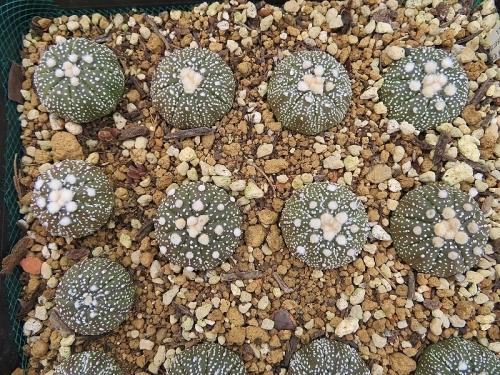 アストロフィツム・兜丸(Astrophytum asterias cv.)球体姿に違いが出てきました♪。2019.02.14