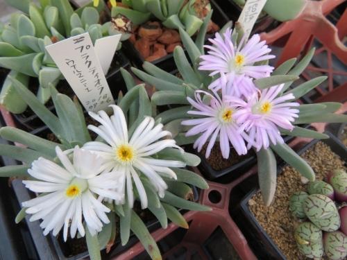 エブラクテオラ・ウィルマニアエ(Ebrcteola wilmniae)ピンク花&白花2019.02.18
