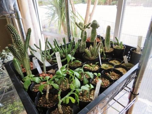 モナデニウム・リゾフォルム(Monadeniumu rhizophorum)ケニア原産他、寒さに弱い多肉植物2019.02.19