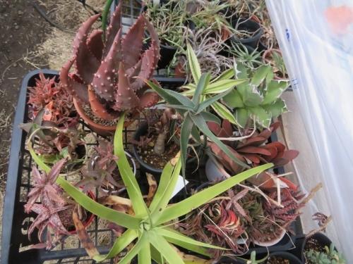 アロエ・アクレアタ変種クロウジアナ(Aloe aculeata v. crousiana)2019.02.23