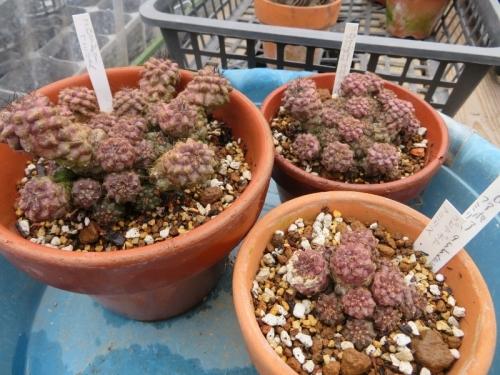コピアポア・フミリス(Copiapoa humilis = paposoensis)チリ原産2019.02.24