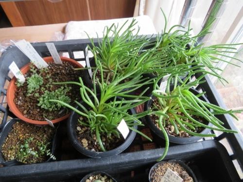 フィロボルス(Phyllobolus sp.)挿し木、実生苗、室内窓際、暖房部屋で冬越、花芽ができました。2019.03.01