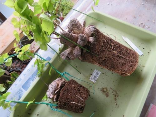 ディオスコレア・エレファンティペス(Dioscorea elephantipes)アフリカ亀甲竜、植え替え前抜いて見ますとかなり根詰まり2019.03.01