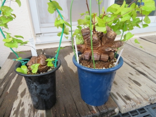 ディオスコレア・エレファンティペス(Dioscorea elephantipes)アフリカ亀甲竜、鉢増し植え替え後2019.03.01