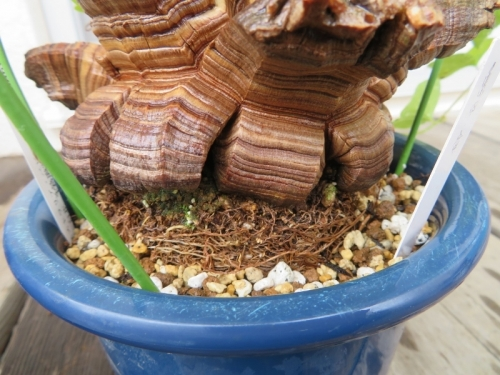 ディオスコレア・エレファンティペス(Dioscorea elephantipes)アフリカ亀甲竜、鉢増し植え替え後、2019.03.01