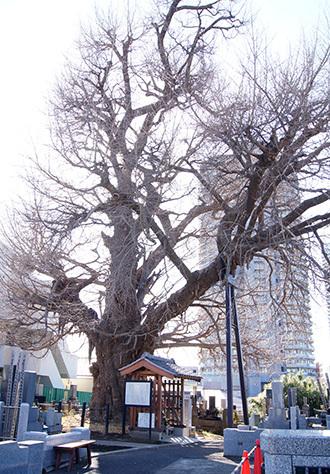 190202浦和真福寺の銀杏①