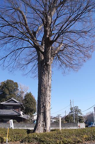 190202山崎の大ケヤキ③