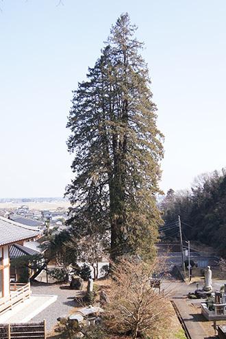 190220長徳寺の枝垂れヒバ①