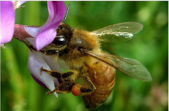 2019-2-28ミツバチ1(ゲンゲの蜜を吸う西洋ミツバチ)