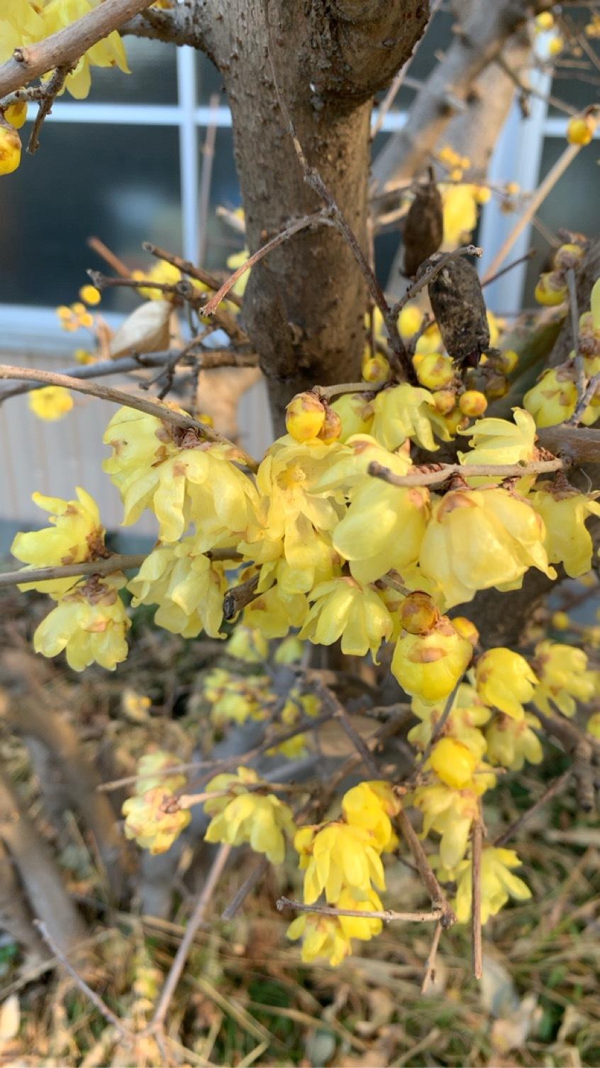 社屋前植え込みの蝋梅