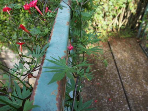 20181020・狭山湖箱根ヶ崎植物11・モミジバルコウの葉