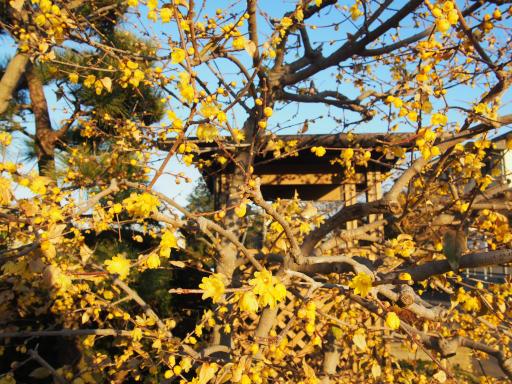 20190120・全徳寺散歩2-03・ソシンロウバイ