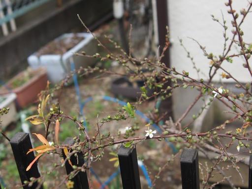 20190209・雪の日散歩植物6・ユキヤナギ