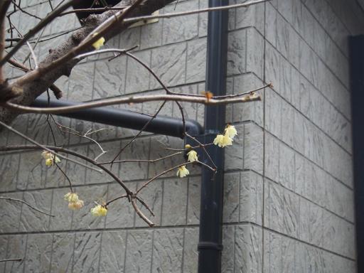 20190209・雪の日散歩雑草4・ソシンロウバイ