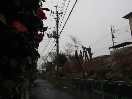 20190209・雪の日散歩雑草2・ツバキ
