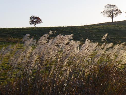秋の八甲田とススキ-4