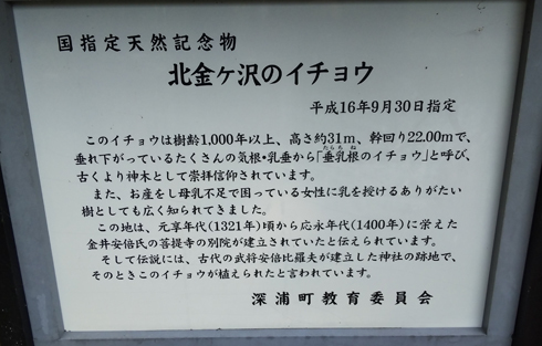北金ヶ沢の大イチョウ-7