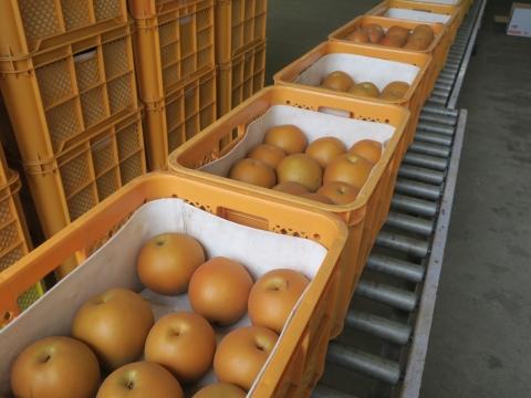 「最後の梨の選果場」②